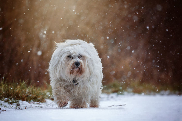 Animal Animal Hair Animal Themes Beauty In Nature Cold Temperature Day Dog Domestic Animals Mammal Nature No People One Animal Outdoors Pets Portrait Snow Snowflake Snowing West Highland White Terrier White Color Winter