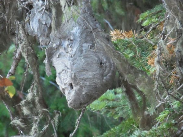 Nature Hornets Nest OUCH