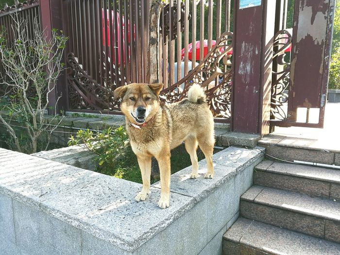 Dog Pets Animal Themes Domestic Animals Portrait Outdoors Day Quicksnap Smartphonephotography HuaweiP9plus