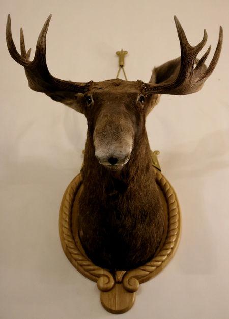 Elk Moose Trophy Animals Hunting Trophy Nesvizh Castle