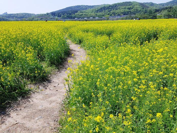 Field Nature Flower Yellow