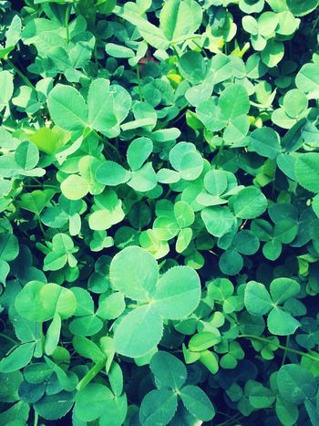 In my city,it means the lucky leaves. Helloworld Taking Photos Green