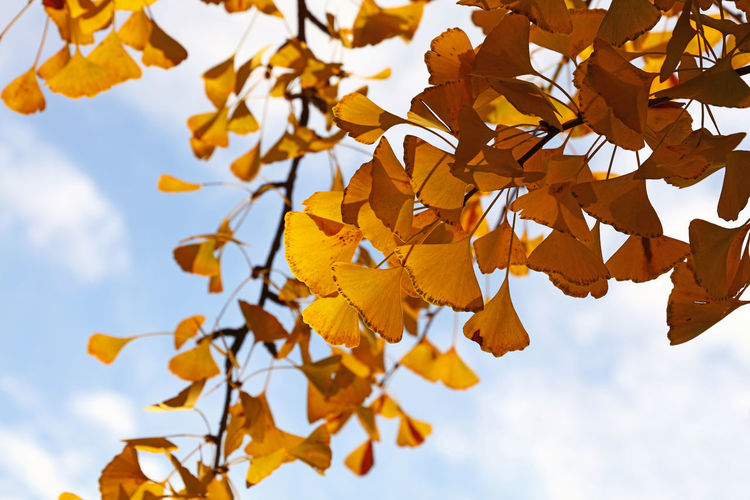 Low angle view of ginkgo leaves against sky during autumn