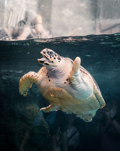 Turtle swimming in aquarium