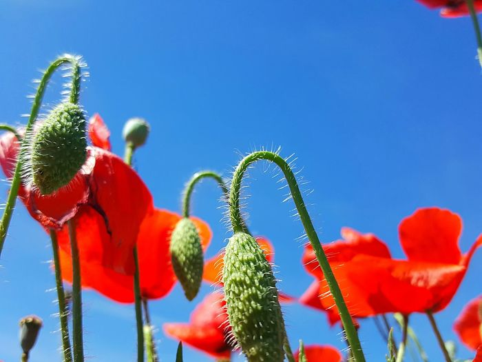 Red And Blue Red Flowers Field Flowers Poppy Poppy Flowers Poppy Flower Growth Sky Plant Day Nature Flower Beauty In Nature Blue Low Angle View Clear Sky Freshness Close-up