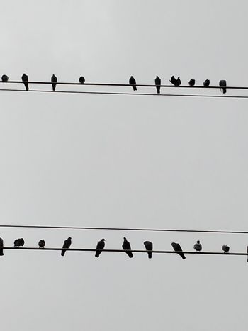 Animal Animal Themes Animal Wildlife Animals In The Wild Bird Cable Clear Sky Connection Copy Space Electricity  Flock Of Birds Group Of Animals In A Row Large Group Of Animals Low Angle View Nature No People Outdoors Perching Power Line  Power Supply Sky Telephone Line Vertebrate
