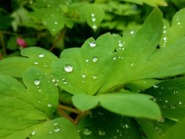 after the rain Outdoor Photography Outdoors Garden Photography Waterpearls Glittering Glitter & Sparkle Green Leaf Water Leaf Drop Wet RainDrop Close-up Green Color Plant Dew Leaf Vein Droplet Water Drop Detail Rainy Season The Great Outdoors - 2018 EyeEm Awards