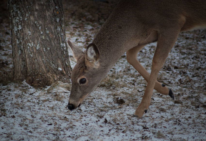 Alertness Animal Themes Backyard Backyard Friends Beauty Beauty In Nature Day Deer Doe Elegant Focus On Foreground Mammal Nature On Your Doorstep One Animal Outdoors Regal Showcase April Standing The Week On EyeEm Watching White-tailed Deer Whitetail Deer Wildlife Wildlife Photography Yearling
