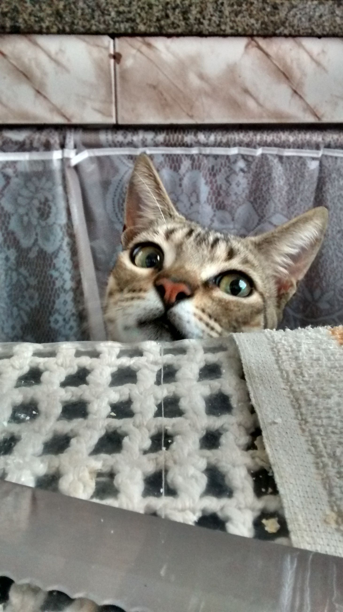animal themes, domestic cat, one animal, pets, cat, domestic animals, feline, mammal, looking at camera, portrait, whisker, indoors, animal head, close-up, staring, alertness, no people, animal eye, wall - building feature, day