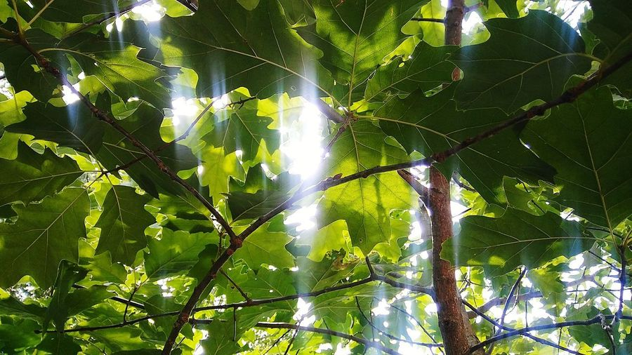 Canopy Summer Green Light Shining Through Trees Canopy Tree Leaf Forest Branch Close-up Green Color Plant Life