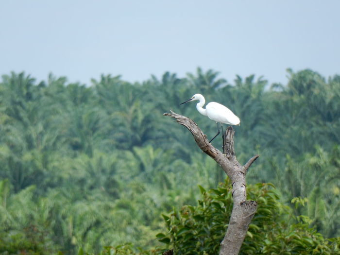 Great egret perching on tree against sky