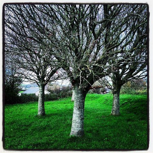 """The 3 Little Trees"" Trees Winter Braunton Devon Heavilyfiltered Winterscene WoodLand"