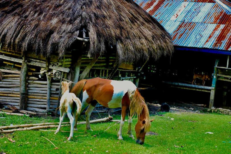 Horse grazing in stable