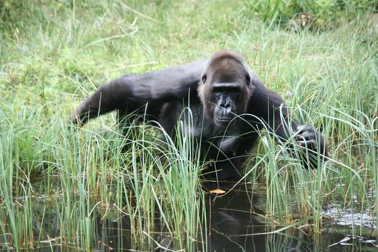 Gorilla Gorillas Monkey Monkeys Nature Nature_collection EyeEm Nature Lover Deadly