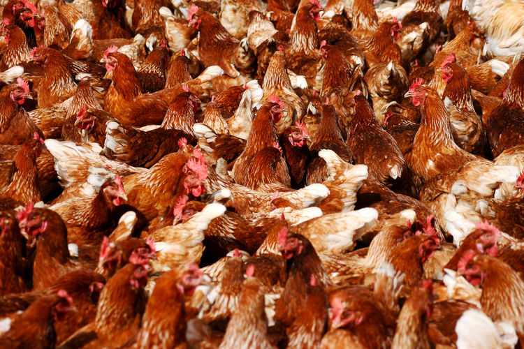 chicken Animal Themes Backgrounds Biological Biological Farming Bird Chicken Chicken - Bird Day Domestic Animals Ecological Fa Farming Full Frame Large Group Of Animals Livestock Nature No People
