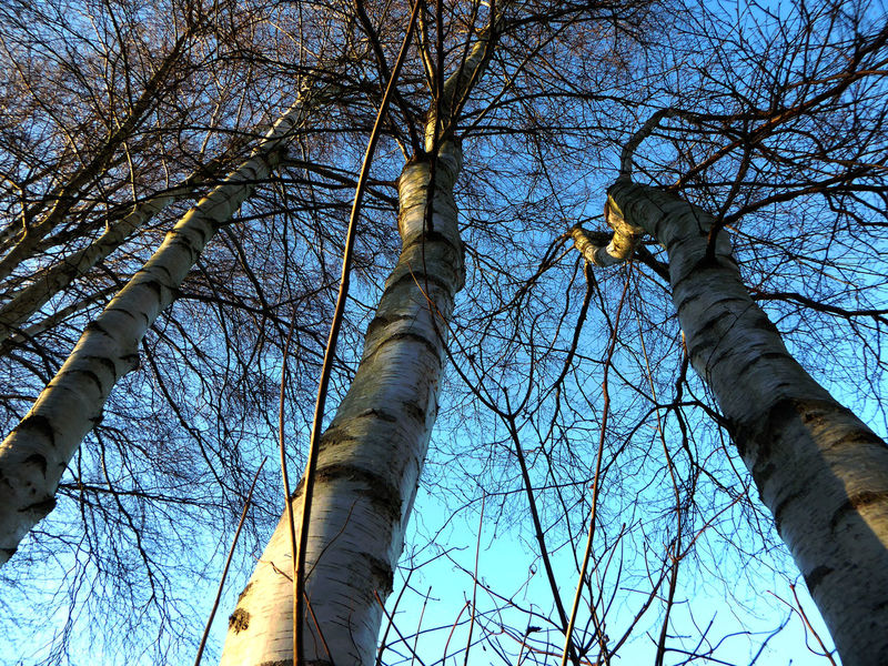 Bare Branches Bare Trees Beauty In Winter Bicycle Trip Birch Trees Blue Sky Cold Temperature Enjoying Life Enjoying The Sun Enjoying The View For My Friends 😍😘🎁 Looking Up At The Sky Love Birches On My Way To Work Sunny Day 🌞