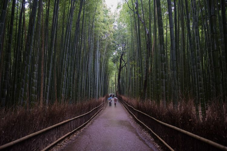 Footpath Amidst Bamboo Groves In Forest