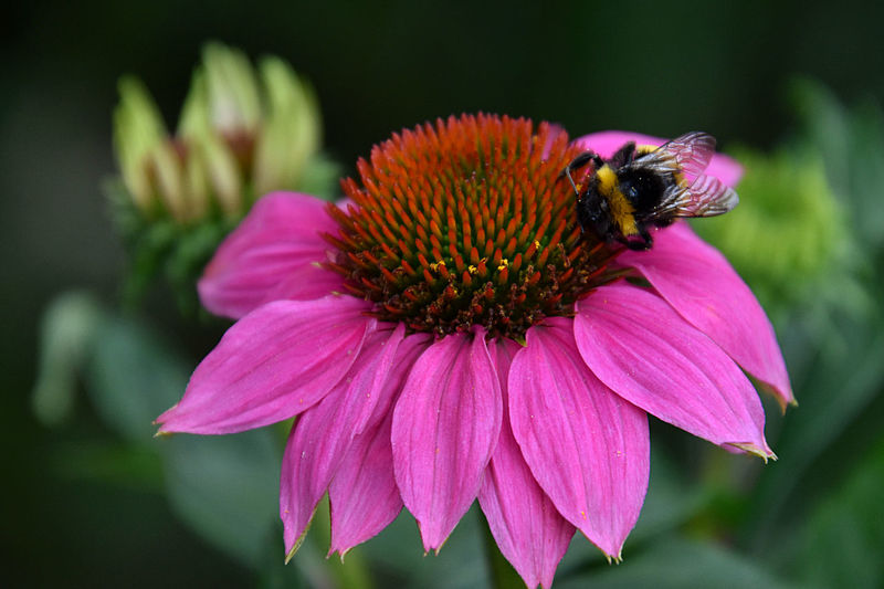 Close-up of honey bee pollinating on pink flower