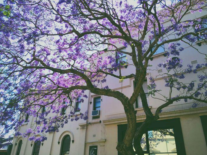 Jacaranda Blooming