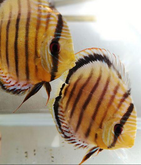 Animal Wildlife Close-up Discus Fish Wild Discus fish Tank aquarium amazone