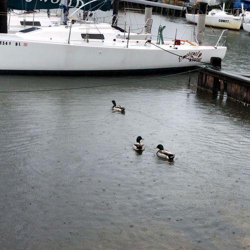 Rainy Day Ducks IPhoneography Water Group Of Animals Bird Animal Wildlife Duck