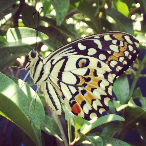 Kupu-kupu mata harimau. Kupukupu Butterfly Insect Serangga macro