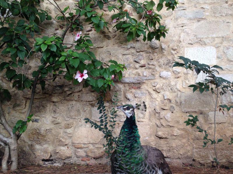 Natural Beauty Peahen Suspicious Hibiscus Funnyhair Lisbon Portugal St.Jorge Castle