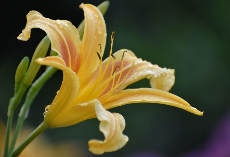 Close-up of yellow day lily
