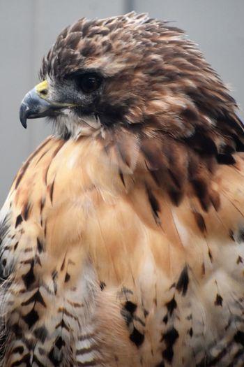 Animal Wildlife Beak Bird Bird Of Prey Bird Profile Close-up Feather  No People One Animal Perching