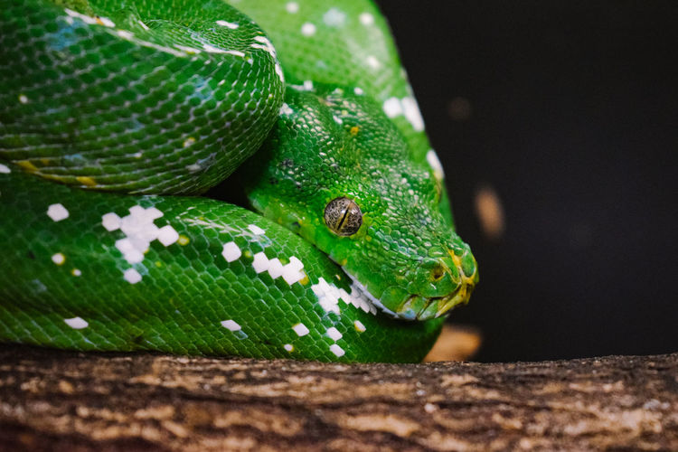 Close-up of green python