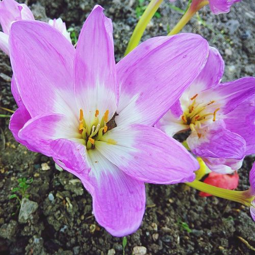 Flower Pink Color Petal Nature Growth Day No People Outdoors Beauty In Nature Fragility Flower Head Purple High Angle View Plant Close-up Freshness Crocus Blooming Bloom Flowers Beauty In Nature Nature Growth Autumn Full Frame