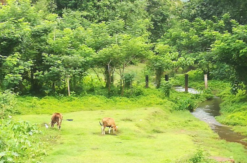Cattles grazing