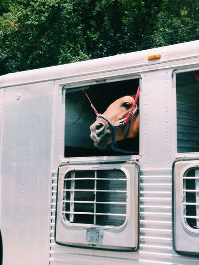 Close-Up Of Horse In Trailer