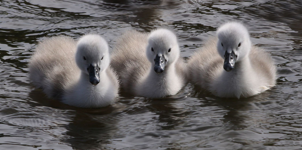 Animal Themes Animals In The Wild Bird No People Swans On The Lake Wildlife Young Animal Young Swan