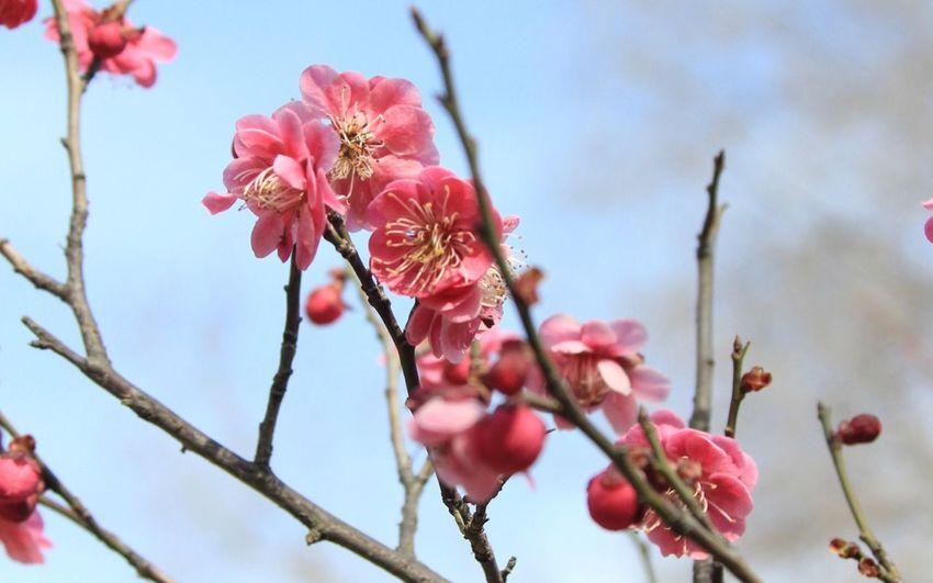 Сакура Sakura