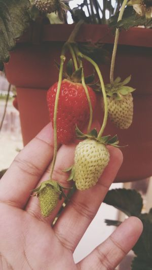 Mom bought a strawberry plant! Wooooh! Ilove strawberries!