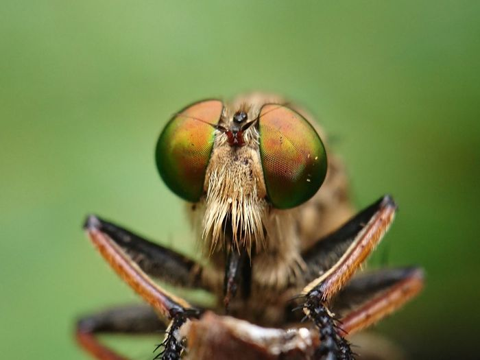 Robberfly, the face of a robber insect