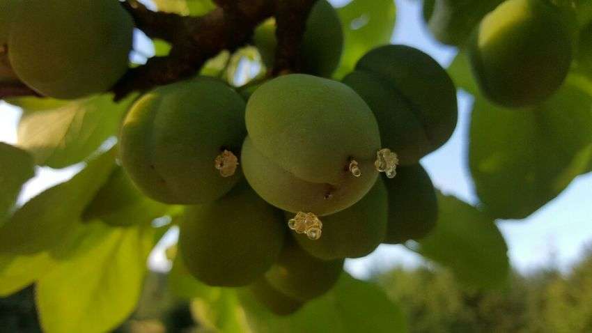 Fruit Green Color Beauty In Nature Close-up Mygardenlove Mygarden Myinspiration Nature Freshness
