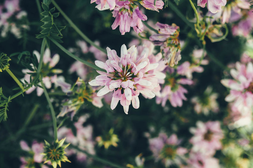 Clover Cloverleaf Clover Flower Cloverleafdiary Clovers  Clover Field Cloverflower Clover Blossom CloverFlower🍀 Clover Leaf Cloverleaves Clover Leaves Pink Flower Pink Color Pink Flowers Pink Flower 🌸