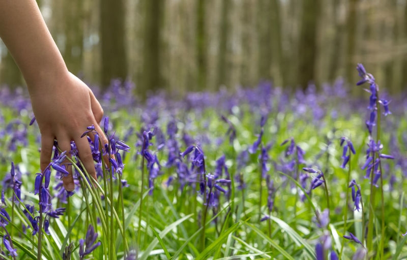 Cropped hand touching bluebells in forest