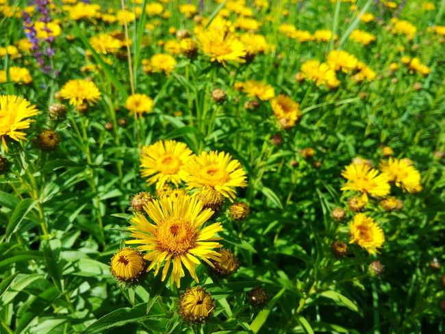 Flower Yellow Nature Flower Head Beauty In Nature 🌸good Day Summer
