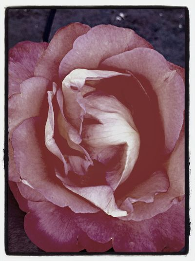 Old Rose Scent
