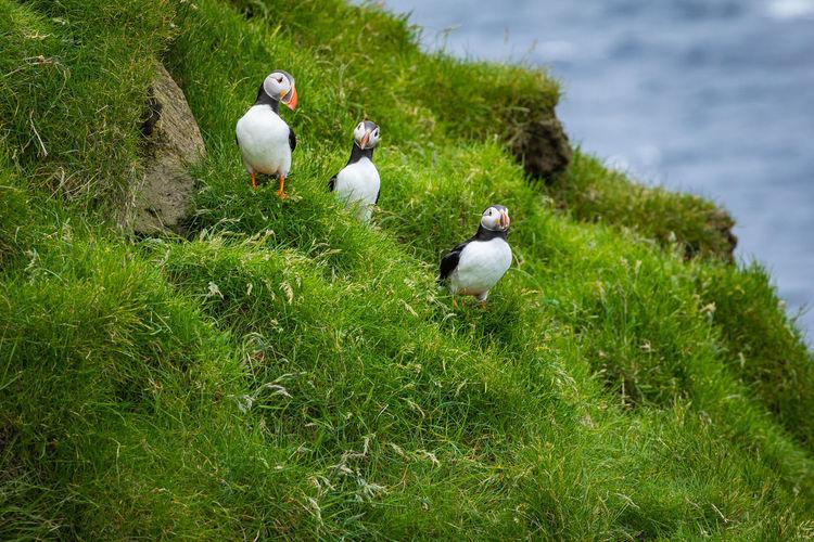 Ducks on grassy field