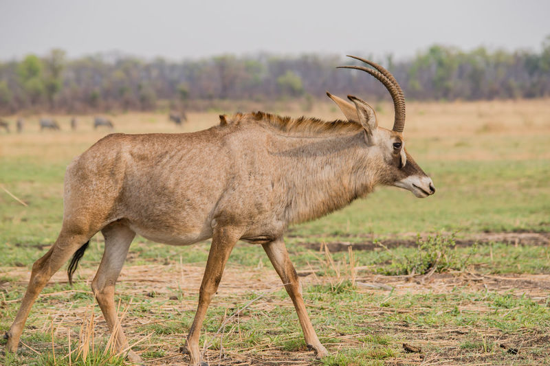 Side view of horned animal walking on field