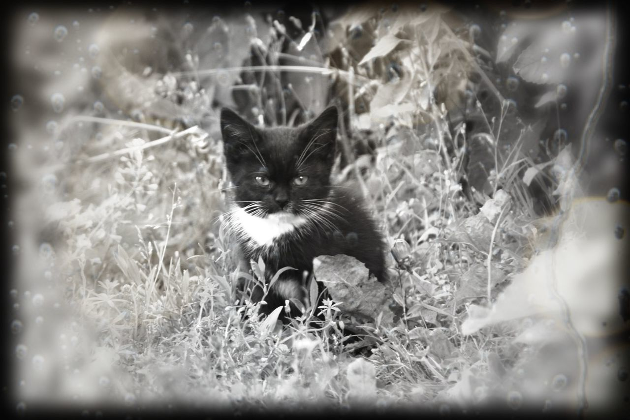 domestic cat, pets, feline, animal themes, domestic animals, one animal, cat, mammal, portrait, grass, no people, looking at camera, alertness, outdoors, sitting, kitten, day, siamese cat, nature, close-up