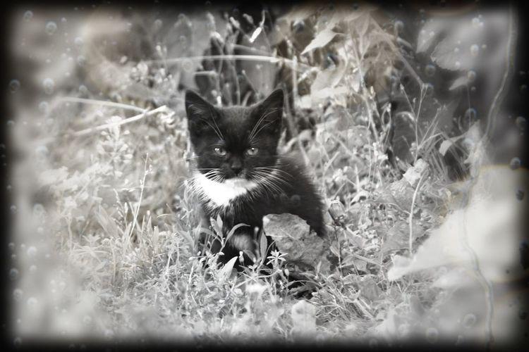 Sweden Cat Cat