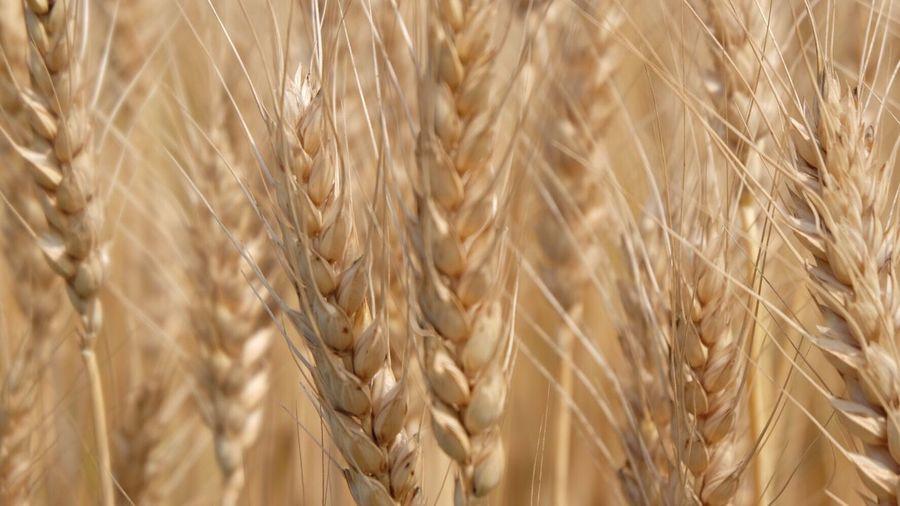 Full frame of wheat crop
