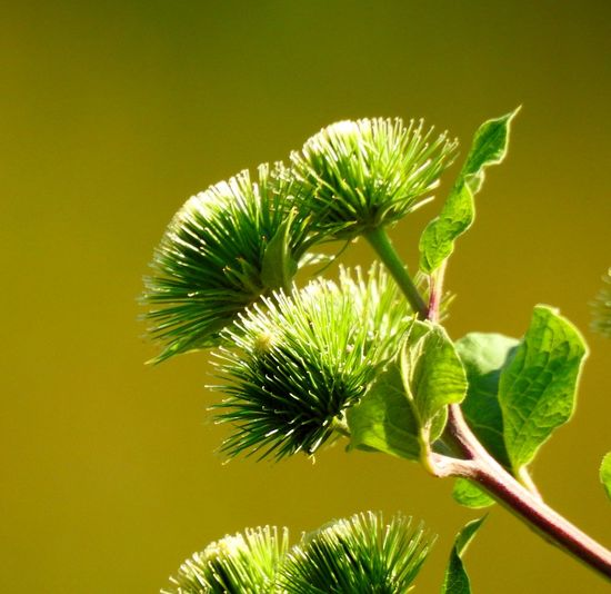 """"""" Burr Thistle """" BURR Beauty In Nature Close-up Colored Background Focus On Foreground Green Color Green Plant Leaf Outdoors Plant Stem Spiky Thistle"""
