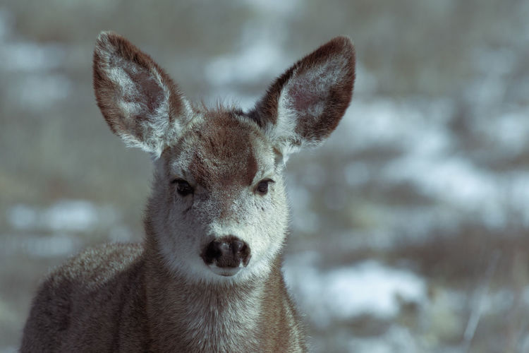 Adorable young female mule deer finds food on a sunny winter day near Denver, Colorado One Animal Portrait Mammal Looking At Camera Animals In The Wild Animal Wildlife Focus On Foreground Close-up Animal Body Part Snow Day No People Cold Temperature Vertebrate Winter Herbivorous