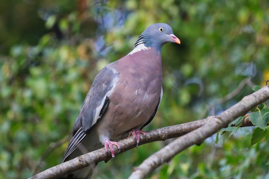 Wood Pigeon Animal Animal Themes Animal Wildlife Animals In The Wild Bird Branch Close-up Day Dove - Bird Focus On Foreground Gray Nature No People One Animal Outdoors Perching Pigeon Plant Tree Vertebrate